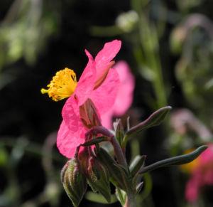 Sonnenroeschen Bluete rosa Helianthemum lavendulaefolium 12