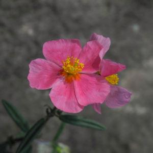 Sonnenroeschen Bluete rosa Helianthemum lavendulaefolium 19