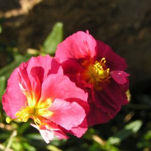 Sonnenroeschen Bluete rubin Helianthemum hybride 01