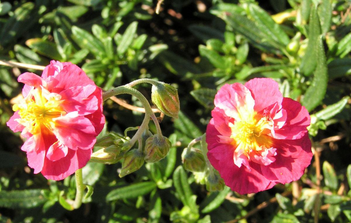 Sonnenroeschen Bluete rubin Helianthemum hybride