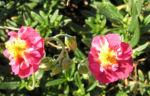 Sonnenroeschen Bluete rubin Helianthemum hybride 02