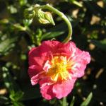 Sonnenroeschen Bluete rubin Helianthemum hybride 03