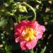 Zurück zum kompletten Bilderset Sonnenröschen Blüte rubin Helianthemum hybride