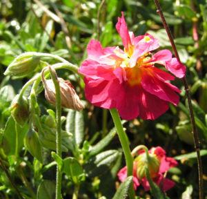 Sonnenroeschen Bluete rubin Helianthemum hybride 04
