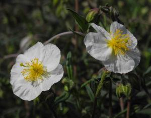 Sonnenroeschen Bluete weiss Helianthemum lavendulaefolium 05
