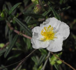 Sonnenroeschen Bluete weiss Helianthemum lavendulaefolium 06