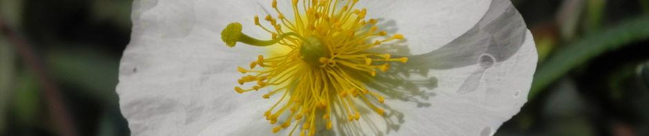 lavendelblaettriges-sonnenroeschen-bluete-rosa-helianthemum-lavendulaefolium