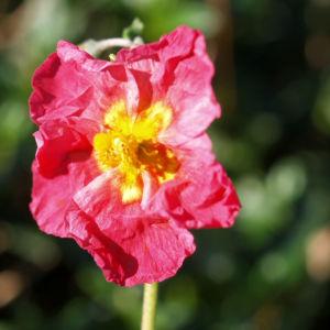 Sonnenroeschen Rubin Bluete pink Helianthemum hybride 01