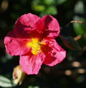 Sonnenroeschen Rubin Bluete pink Helianthemum hybride 02
