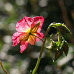 Bild:  Sonnenröschen Rubin Blüte pink Helianthemum hybride