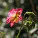 Zurück zum kompletten Bilderset Sonnenröschen Rubin Blüte pink Helianthemum hybride