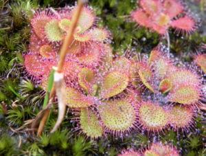 Sonnentau rötlich Drosera glanduligera 06