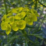 Sonnwend Wolfsmilch Bluete gelb Euphorbia helioscopia 04