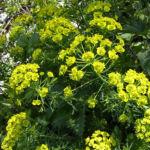 Sonnwend Wolfsmilch Bluete gelb Euphorbia helioscopia 06