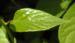 Zurück zum kompletten Bilderset Spaltkölbchen Blüte weiß Schisandra glabra