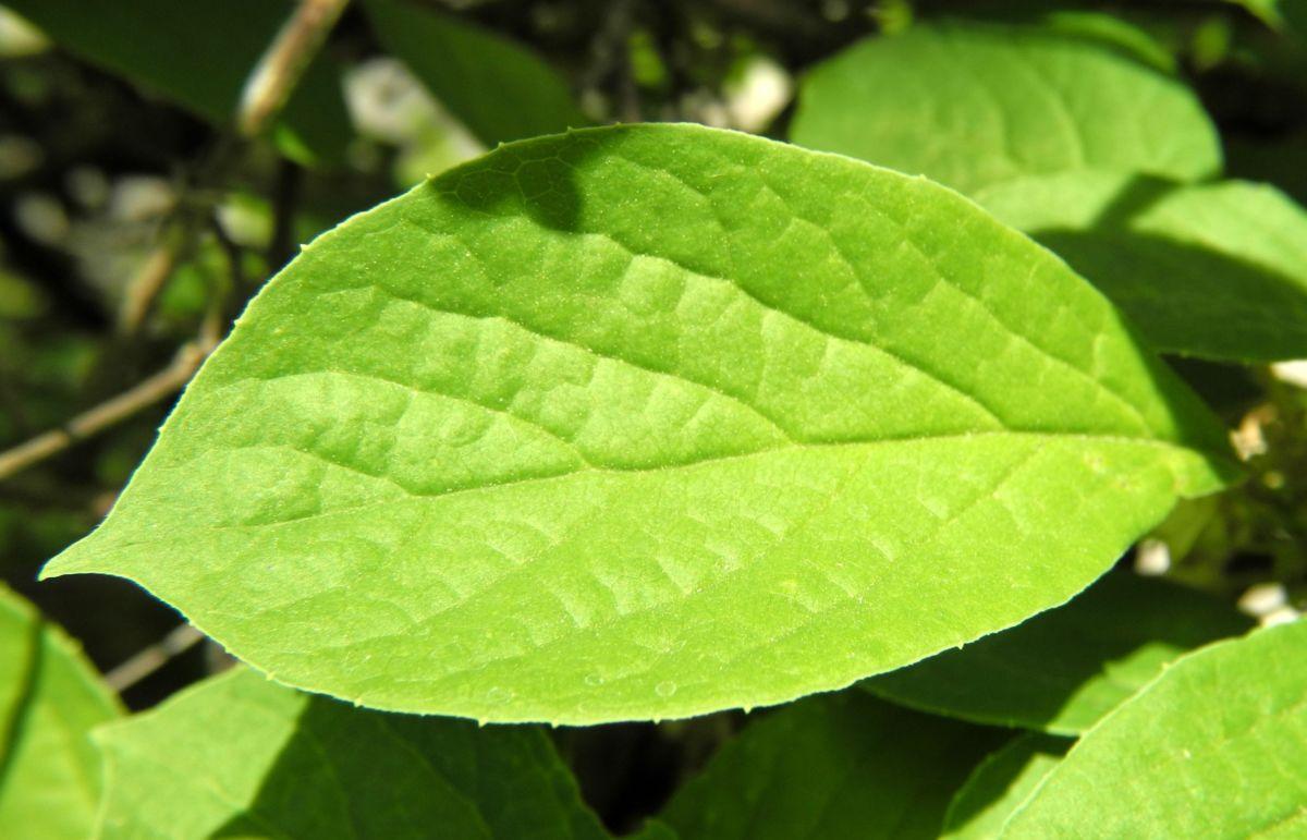 Spaltkoelbchen Blatt gruen Schisandra glabra