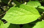 Spaltkoelbchen Blatt gruen Schisandra glabra 04