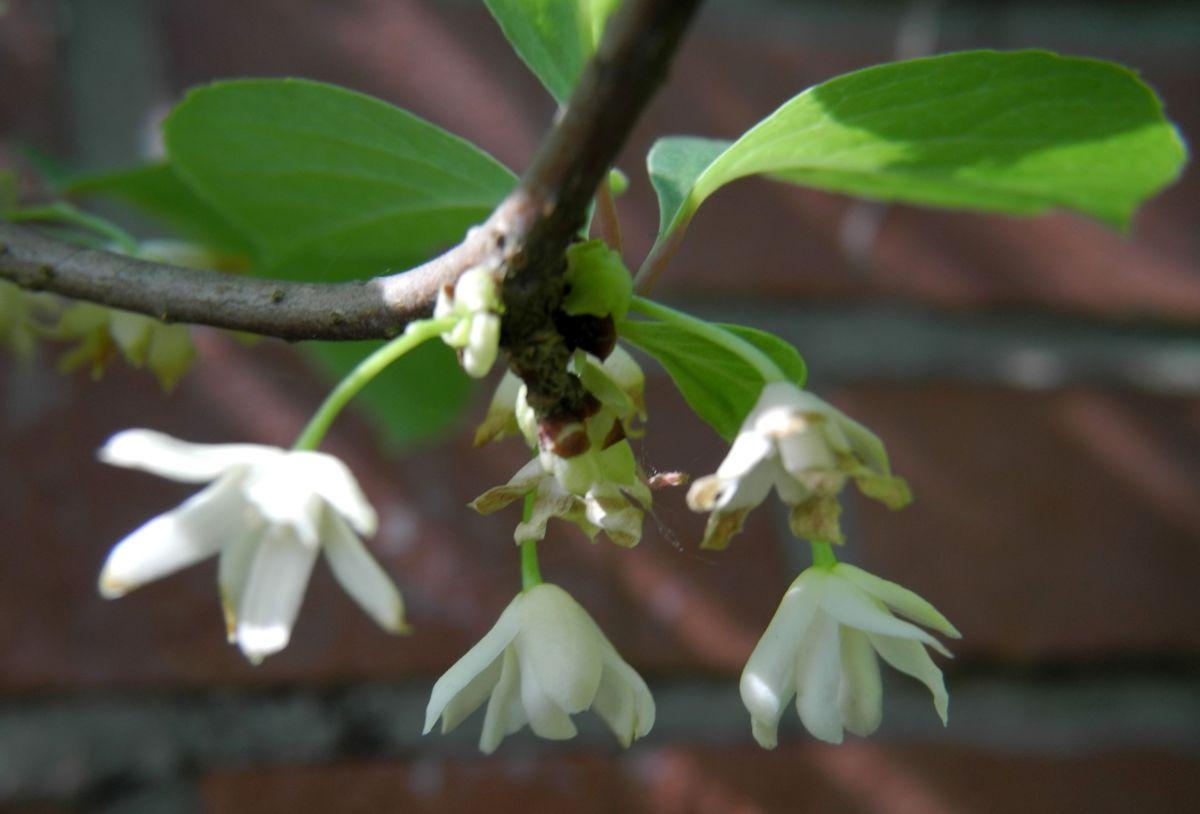 Spaltkoelbchen Bluete weiß Schisandra glabra