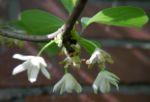 Spaltkoelbchen Bluete weiß Schisandra glabra 07