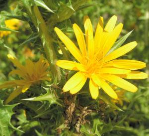 Spanische Golddistel Bluete gelb Scolymus hispanicus 01