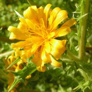 Spanische Golddistel Bluete gelb Scolymus hispanicus 02