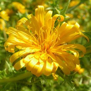 Spanische Golddistel Bluete gelb Scolymus hispanicus 04