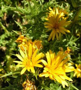 Spanische Golddistel Bluete gelb Scolymus hispanicus 05