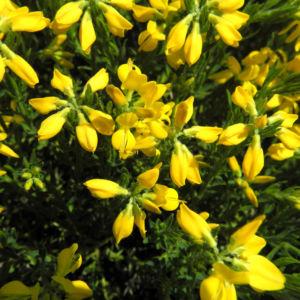 Spanischer Ginster Bluete gelb Genista hispanica 01