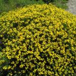 Spanischer Ginster Bluete gelb Genista hispanica 06