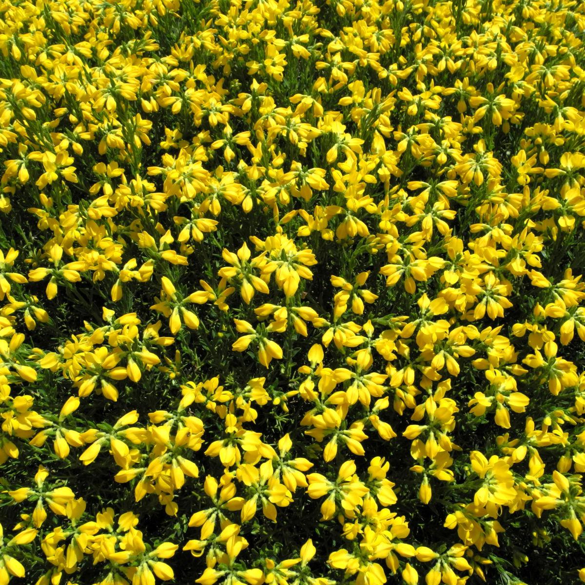 Spanischer Ginster Bluete gelb Genista hispanica