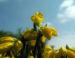 Zurück zum kompletten Bilderset Spanischer-Ginster Blüte gelb Genista hispanica