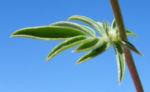 Spanischer Wund Klee Bluete pink Anthyllis vulneraria iberica 09
