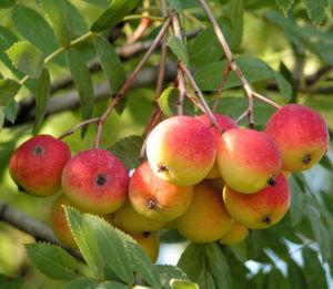 Speierling Baum Frucht rot gelb Sorbus domestica 01