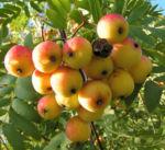 Speierling Baum Frucht rot gelb Sorbus domestica 02