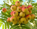 Speierling Baum Frucht rot gelb Sorbus domestica 04
