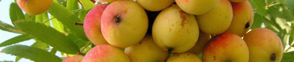 speierling-baum-frucht-rot-gelb-sorbus-domestica