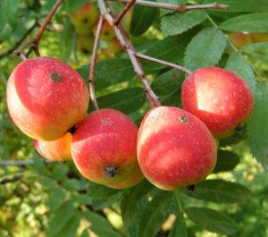 Speierling Baum Frucht rot gelb Sorbus domestica 05