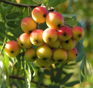 Speierling Baum Frucht rot gelb Sorbus domestica 06