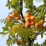 Speierling Frucht Blaetter gelb roetlich Sorbus domestica 01