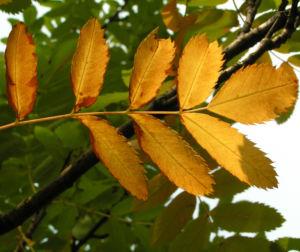 Speierling Frucht Blaetter gelb roetlich Sorbus domestica 03