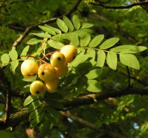 Speierling Frucht Blaetter gelb roetlich Sorbus domestica 07