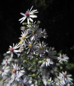 Sperrige Aster Blüte weiß Aster divaricatus