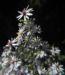 Zurück zum kompletten Bilderset Sperrige Aster Blüte weiß Aster divaricatus