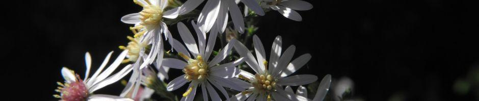 Anklicken um das ganze Bild zu sehen Sperrige Aster Blüte weiß Aster divaricatus