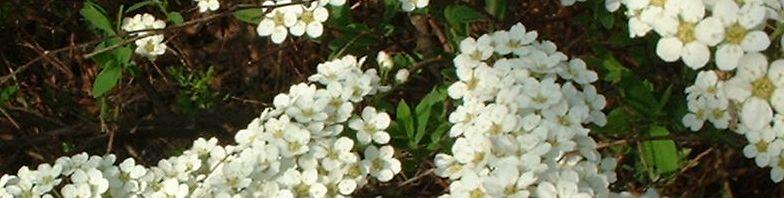 Anklicken um das ganze Bild zu sehen Grauer Spierstrauch Blüte weiß Spiraea canescens