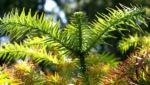 Spiesstanne Baum China Nadeln gruen Cunninghamia lanceolata 02