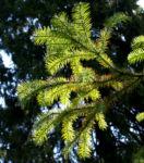 Spiesstanne Baum China Nadeln gruen Cunninghamia lanceolata 03