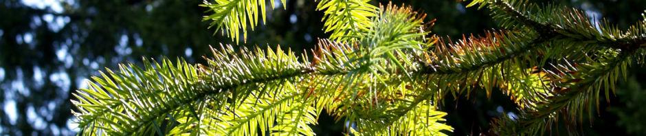 spiesstanne-baum-china-nadeln-gruen-cunninghamia-lanceolata