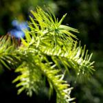 Spiesstanne Baum China Nadeln gruen Cunninghamia lanceolata 05