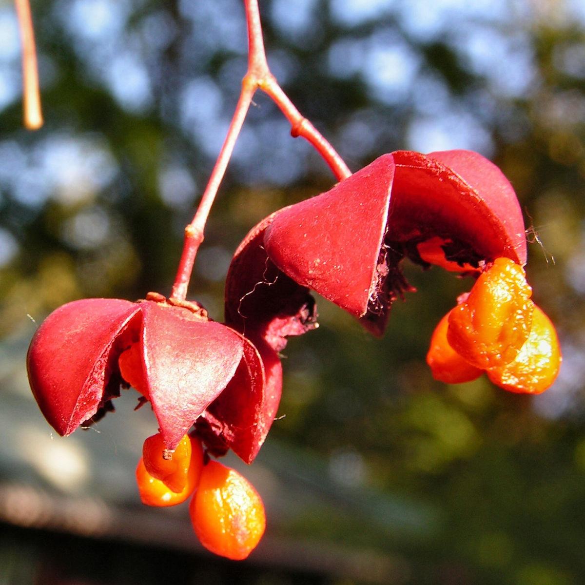 Spindelstrauch Frucht rot orange Euonymus sachalinensis